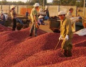Thị trường - Tiêu dùng - Xuất khẩu cà phê cuối năm tăng mạnh