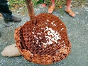 Chuyện lạ - Phát hiện tổ ong bắp cày khổng lồ ở Trung Quốc