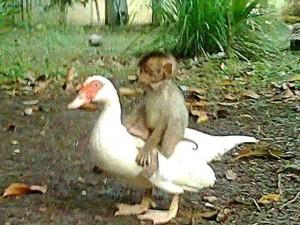 Bạn trẻ - Cuộc sống - Cảm động tình bạn sâu đậm tới chết của khỉ và ngỗng
