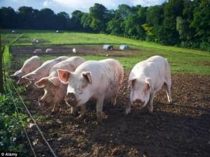 Tin tức trong ngày - Con người sắp được ghép nội tạng lợn?