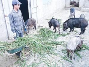 Doanh nhân - 9X nuôi lợn rừng Thái Lan thu hàng tỷ đồng