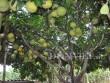 Hòa Bình: Cây bưởi ra 800 quả