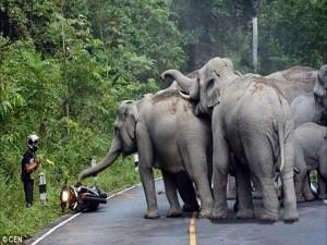 Tin tức trong ngày - Thái Lan: Người đi xe máy quỳ lạy xin voi tha mạng
