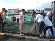 Giá cả - Lý Sơn: Tôm hùm rớt giá, người nuôi lao đao