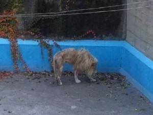 Tin tức trong ngày - TQ: Sư tử bị bỏ đói gầy thê thảm ở vườn thú Bắc Kinh