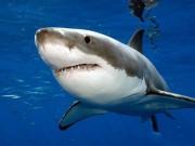 """Thế giới - Mỹ: Tử chiến cá mập, thoát chết nhờ """"chiêu"""" móc mắt"""