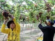 Thị trường - Tiêu dùng - Ninh Thuận: Người trồng nho không có lãi