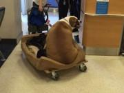 Thế giới - Mỹ: Chó béo nặng 74kg ngồi khoang hạng nhất máy bay