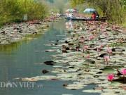 Du lịch - Hương Sơn mùa hoa súng nở