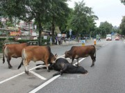 Thế giới - Cảm động đàn bò đứng canh xác đồng loại bị xe đâm chết