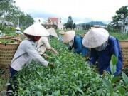 """Thị trường - Tiêu dùng - Đài Loan """"dội gáo nước lạnh"""", thị trường trà Việt lao đao"""