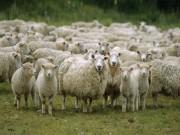 Thế giới - Singapore: Máy bay hạ cánh khẩn cấp vì...phân cừu