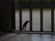 """Thế giới - Tù nhân Brazil luyện chuột thành """"lính"""" chuyển ma túy"""