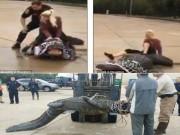 Thế giới - Mỹ: Cá sấu nặng hơn 4 tạ lang thang trên phố