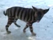 Phi thường - kỳ quặc - Kỳ lạ: Con vật có lông giống hổ, sủa như chó
