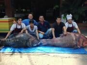 """Thị trường - Tiêu dùng - Bắt được cặp cá hô """"khủng"""" nặng 240 kg"""