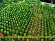 Du lịch - Khám phá vườn tiêu ở đảo Phú Quốc