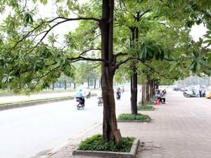 """Tin tức trong ngày - """"Hà Nội nên di dời bớt cây hoa sữa"""""""