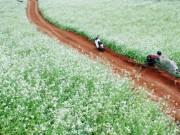 Du lịch - Những điểm ngắm hoa cải trắng tuyệt đẹp ở Mộc Châu