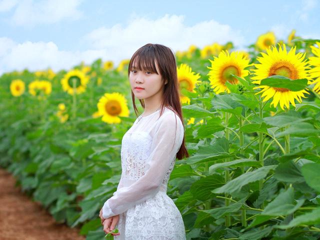 """Ngất ngây với cánh đồng """"hoa mặt trời"""" nở rộ ở Nghệ An"""