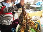 """Xuất nhập khẩu - Thương lái Trung Quốc giở trò """"ma"""" với tôm hùm"""
