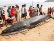 Tin tức trong ngày - Cá voi xanh dạt bờ biển Phú Yên với nhiều vết thương
