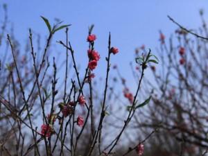 Tin tức trong ngày - Người Nhật Tân lo đào nở sớm vì mùa đông không lạnh