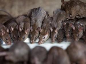 Chuyện lạ - Kinh hãi: Ngôi đền nuôi chuột như thú cưng ở Ấn Độ