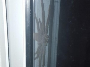 Chuyện lạ - Phát hiện nhện săn khổng lồ nấp ngoài cửa nhà dân