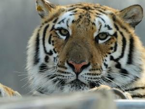 Thế giới - TQ: Người đàn ông liều lĩnh nhảy vào chuồng hổ
