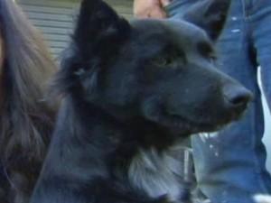 Thế giới - Úc: Chú chó bảo vệ cô chủ 2 tuổi đi lạc suốt đêm