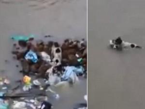 Thế giới - Video: Chó mẹ dũng cảm bơi qua dòng nước lũ cứu con