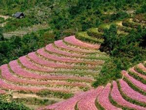 Tết Dương lịch: Tour đi ngắm hoa tam giác mạch hút khách