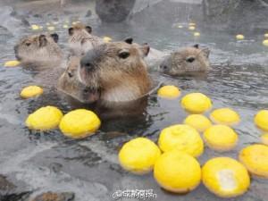 Thế giới - Nhật Bản: Chuột khổng lồ tắm nước nóng thơm gây sốt mạng