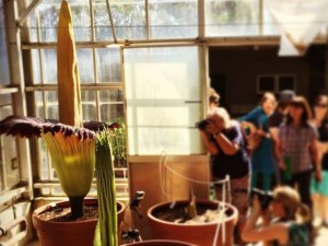 Thế giới - Hoa tử thi khổng lồ, cao 2m gây sốt ở Úc