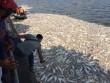 Cá Hồ Tây chết hàng loạt: Xác định có 24 cửa xả xuống hồ