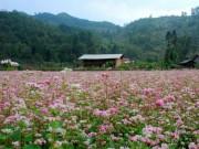 Du lịch - Hà Giang - mùa hoa tam giác mạch nhuộm thắm sườn đồi