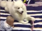 Phi thường - kỳ quặc - Chó ung dung cầm điện thoại cho bé sơ sinh xem hoạt hình