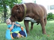 Phi thường - kỳ quặc - Cặp vợ chồng trẻ để chó pitbull 76kg trông con 3 tháng tuổi