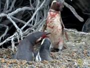 Phi thường - kỳ quặc - Thấy vợ nằm với bồ, chim cánh cụt tử chiến đẫm máu