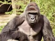 Thế giới - 11.000 người Mỹ bầu khỉ đột đã chết làm tổng thống
