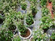 Tin tức trong ngày - Ảnh: Hoa tam giác mạch lần đầu khoe sắc ở phố đi bộ Hồ Gươm