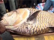 Tin tức trong ngày - Ngư dân miền Tây bắt cá hô khổng lồ, bán hơn 300 triệu