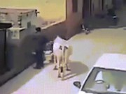 Thế giới - Video: Bò đi lững thững bỗng húc tung người trên phố