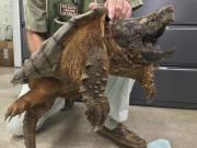 Thế giới - Mỹ: Giải cứu rùa cá sấu quý hiếm dưới cống thoát nước