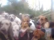 Thế giới - Cuộc chiến không cân sức giữa cáo và 20 con chó