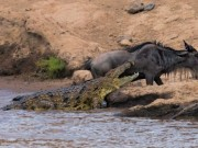 """Thế giới - Cá sấu dài 4m """"bẽ mặt"""" trong cuộc đọ sức với linh dương"""