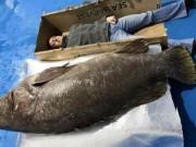 """Thế giới - Anh: Câu được cá mú khổng lồ, """"khủng"""" nhất trong 30 năm"""