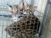 Phát hiện hai cá thể mèo rừng quý hiếm ở miền Tây