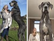 Chú chó lớn nhất thế giới nặng 90kg, cao 2,2m